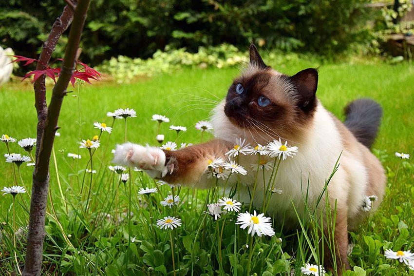 Pets Corner Sacre De Birmanie Birman  Cat Gatto Odette #