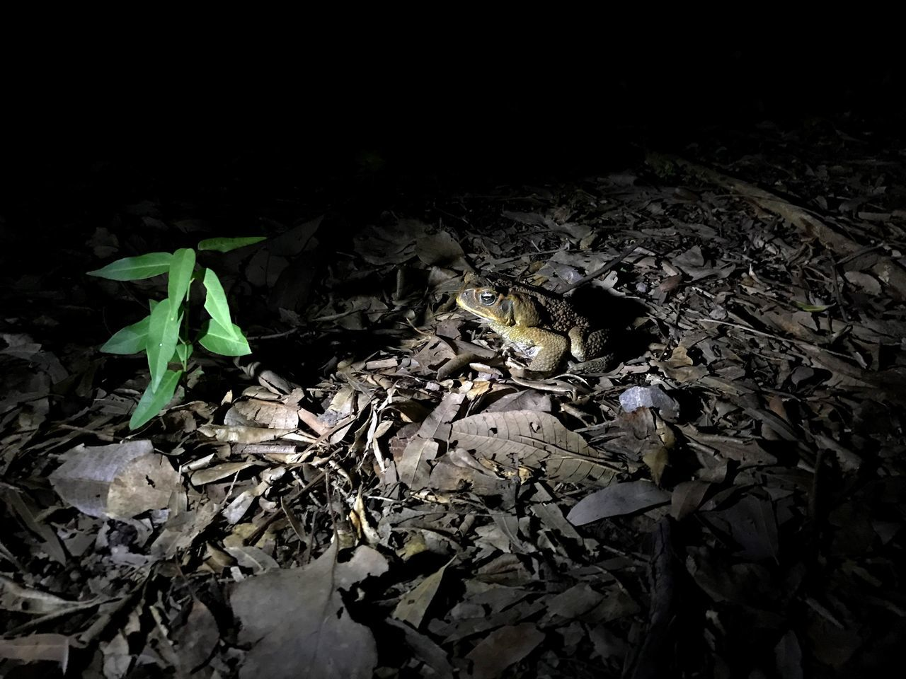 Cane Toad, Queensland, Australia. Leaf No People Nature Outdoors Night Toads And Frogs Poisonous Artificial Light Woodlands