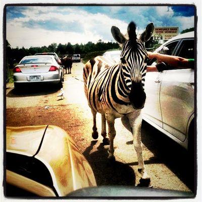 Here she comes, Ms. Stripes! Animal Safari Stripes Park Zebra Quebec Parcsafari Hemingford