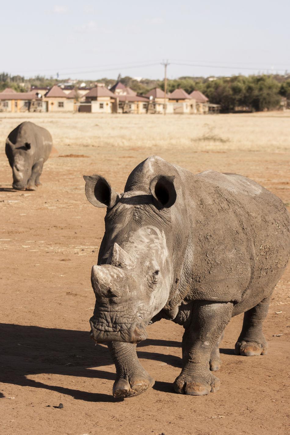 Africa Animal Animal Themes Animals Beauty In Nature Day Endangered Animals Endangered Species EyeEm EyeEm Nature Lover Mammal Nature No People Outdoors Rhino Rhinos Sand Wildlife