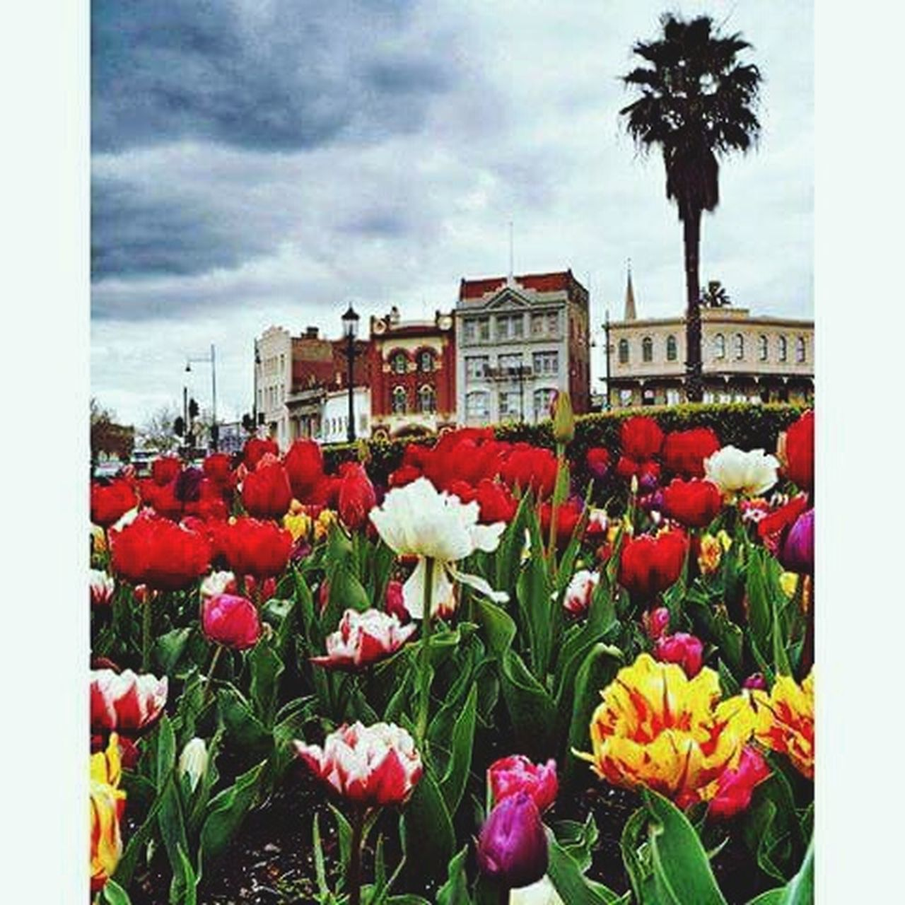 flower, fragility, nature, freshness, beauty in nature, petal, red, growth, flower head, multi colored, outdoors, cloud - sky, day, tulip, no people, sky, plant, blooming, building exterior, springtime, architecture, close-up