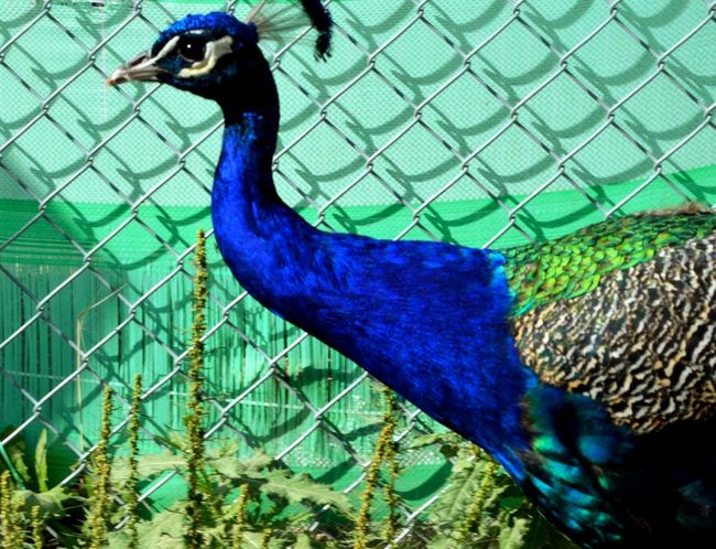 Peacock Bird Vibrant Birds That Fly Vibrant Colors Blue-green Beautiful Wildlife Photos Male Tail Not Shown Side View Edited Side Profile Animals Feathers Pastel Wall Pastel Power