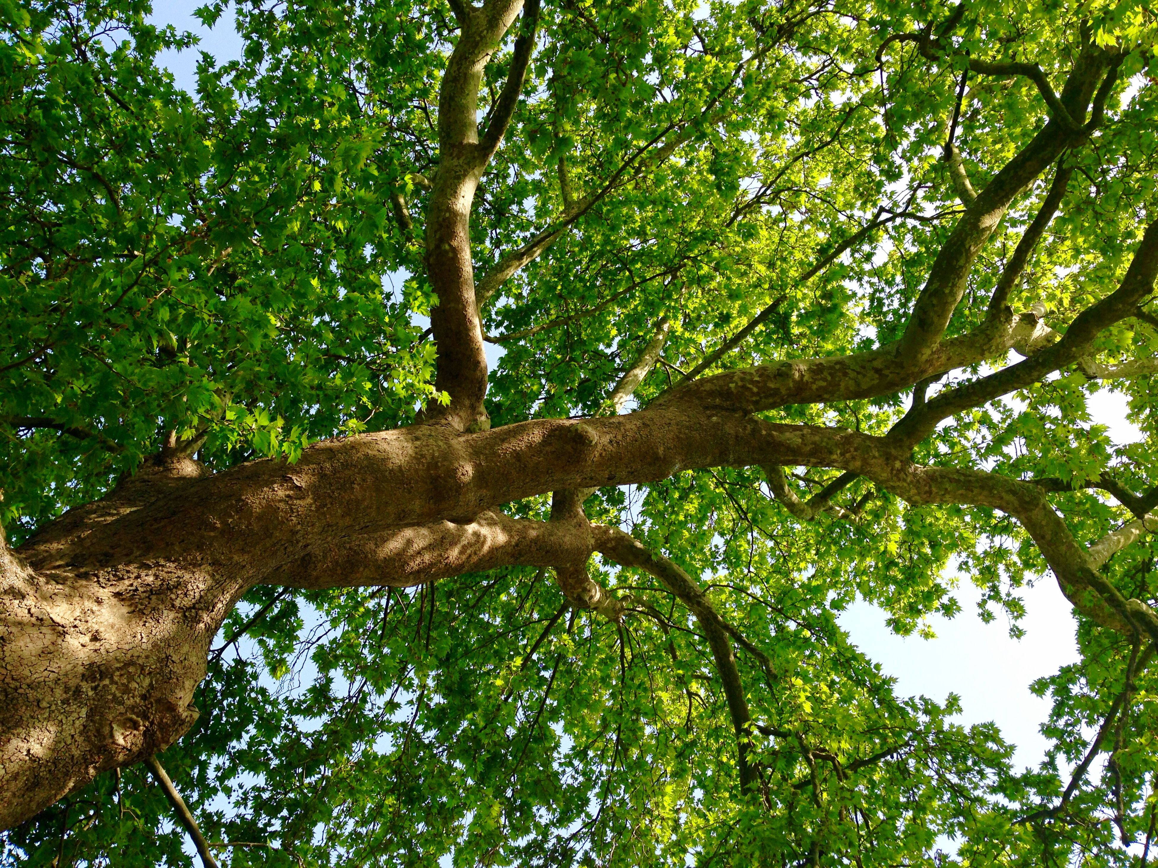 tree, low angle view, branch, growth, green color, nature, tranquility, tree trunk, forest, beauty in nature, lush foliage, green, leaf, day, outdoors, sunlight, scenics, no people, tranquil scene, full frame