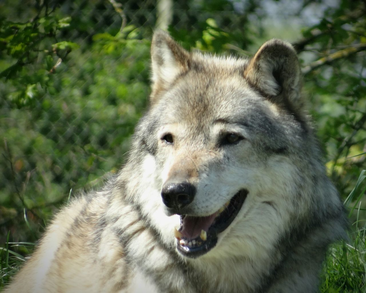 Wolf Wildlife EyeEm Nature Lover Animals Animal Portrait Animal Photography Nature's Diversities Found On The Roll