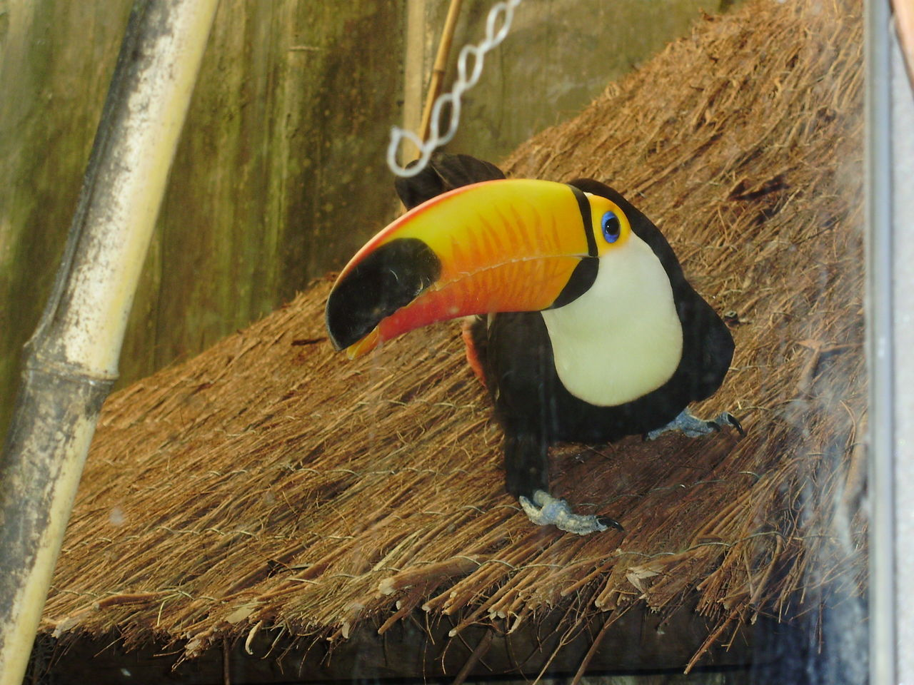 Animal Themes Animals In The Wild Bird Close-up Day Nature No People One Animal Outdoors Savannah Toucan Tucan Tucano