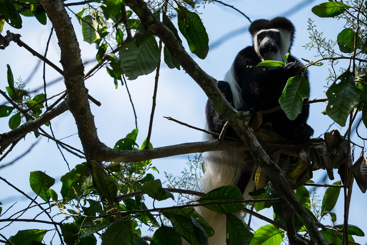 Black And White Colobus Monkey Monkeys Stummelaffe Affe Affen EyeEmNewHere FUJIFILM X-T1 Tansania Kilimanjaro Tanzania Animals In The Wild Animal Wildlife Mount Kilimanjaro Nature