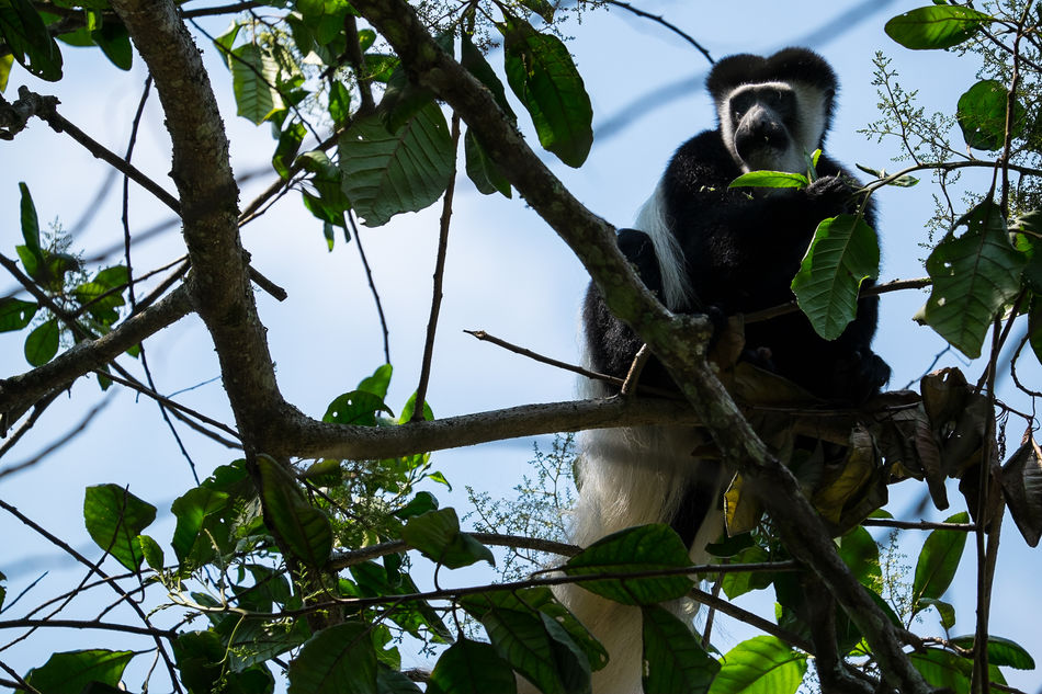 Black And White Colobus Monkey Monkeys Stummelaffe Affe Affen EyeEmNewHere FUJIFILM X-T1 Tansania Kilimanjaro Tanzania Animals In The Wild Animal Wildlife Mount Kilimanjaro Nature