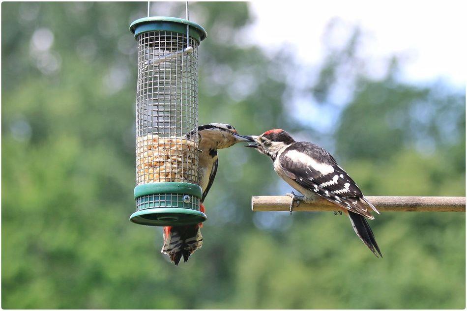 Beautiful stock photos of woodpecker, Animal Themes, Animal Wildlife, Animals In The Wild, Auto Post Production Filter