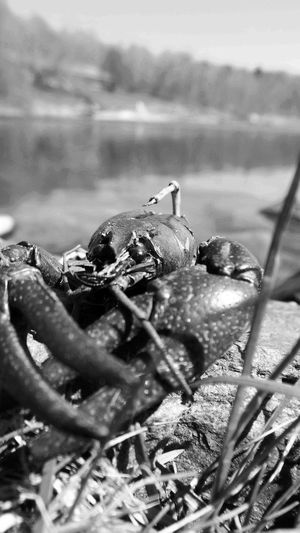 Check This Out Crustacean Cooked Seafood Fishing Water_collection Blackandwhite Shillouettes And Sunshine Fishing On The Rocks Black And White Nature Photography Black And White Water Crayfish Crawdad Crawdaddy Taking Photos Black And White Landscape Up Close And Personal