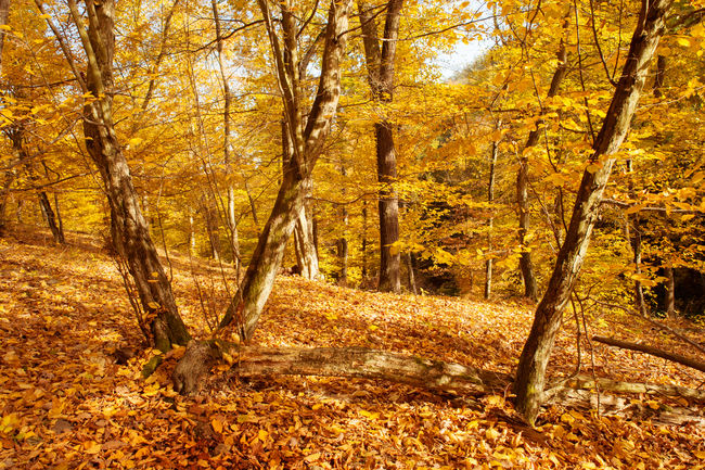 Golden Hornbeam trees in autumnal forest in sunny day Autumn Autumn Forest Autumn Woods Beauty In Nature Bright Brno Czech Nature Czech Republic Day Forest Natural Condition Nature Non-urban Scene Outdoors Season  Solitude Tranquil Scene Tranquility Tree Tree Trunk WoodLand Yellow