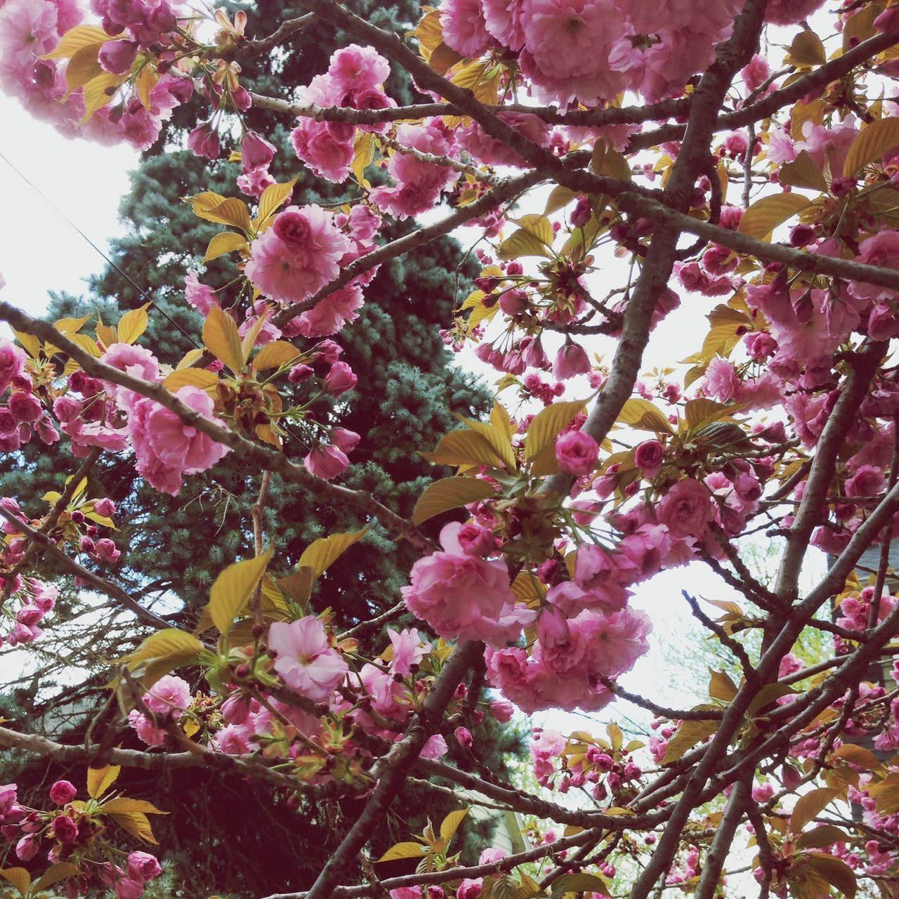 Tree Cherry Blossoms Perspective Spring Feeling