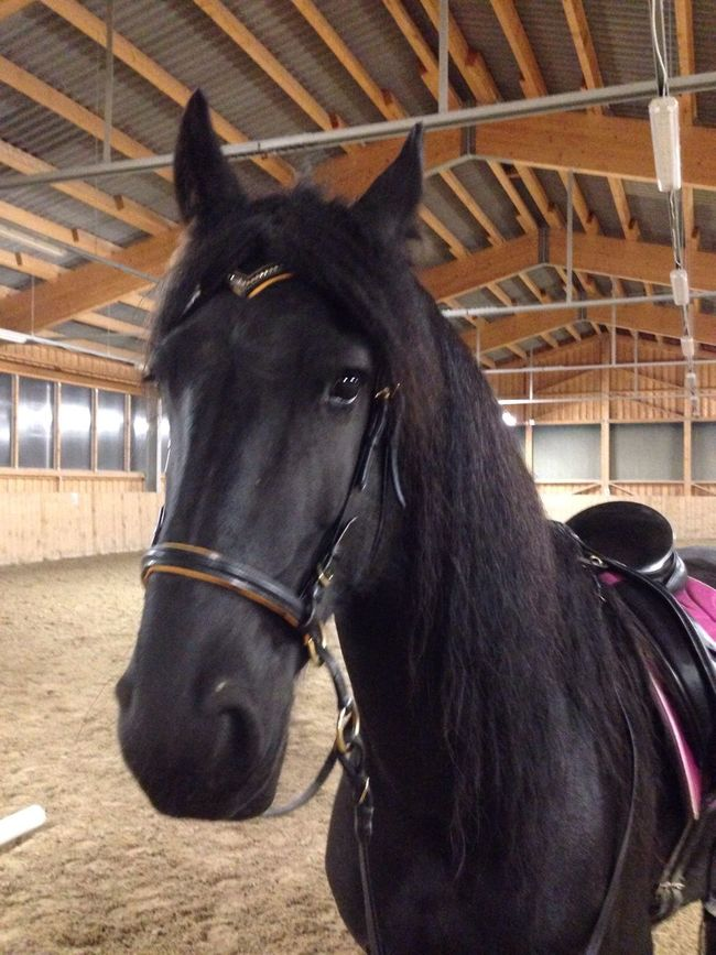 Lilli💝 Horse Domestic Animals Animal Themes One Animal Mammal Working Animal Bridle Herbivorous Brown Animal Head  Livestock Stable Close-up Indoors  Horses IPhoneography I Love Horses I Love My Horse Friesen Black Horse No People