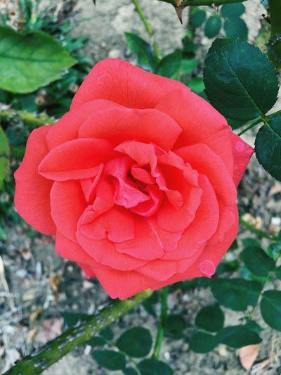 """Art of The Rose"" Roses Roses🌹 Roses Are Red Rose♥ Beautifulrose Rosegarden"