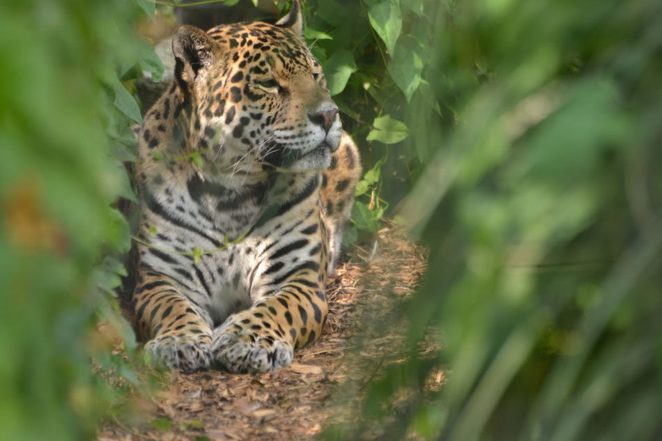 Beautiful stock photos of leopard, Animal Markings, Animal Themes, Animals In The Wild, Day