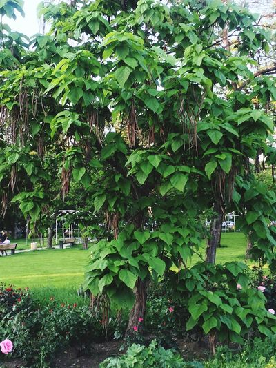 Green Color Tree Beauty In Nature Green Grass Leaf Vacations Romania Timisoara