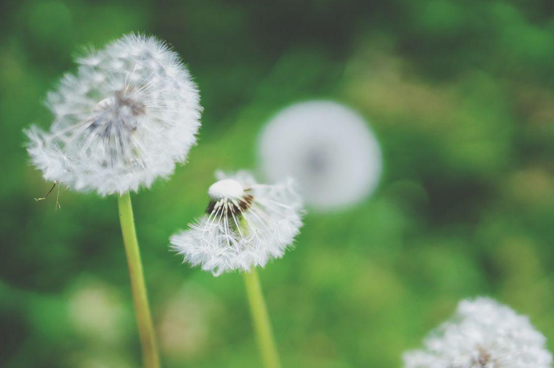 Dandelion Bokeh Nature VSCO Elegance Everywhere