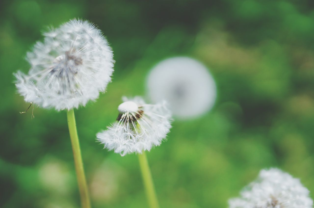 Dandelion Bokeh Nature VSCO Elegance Everywhere