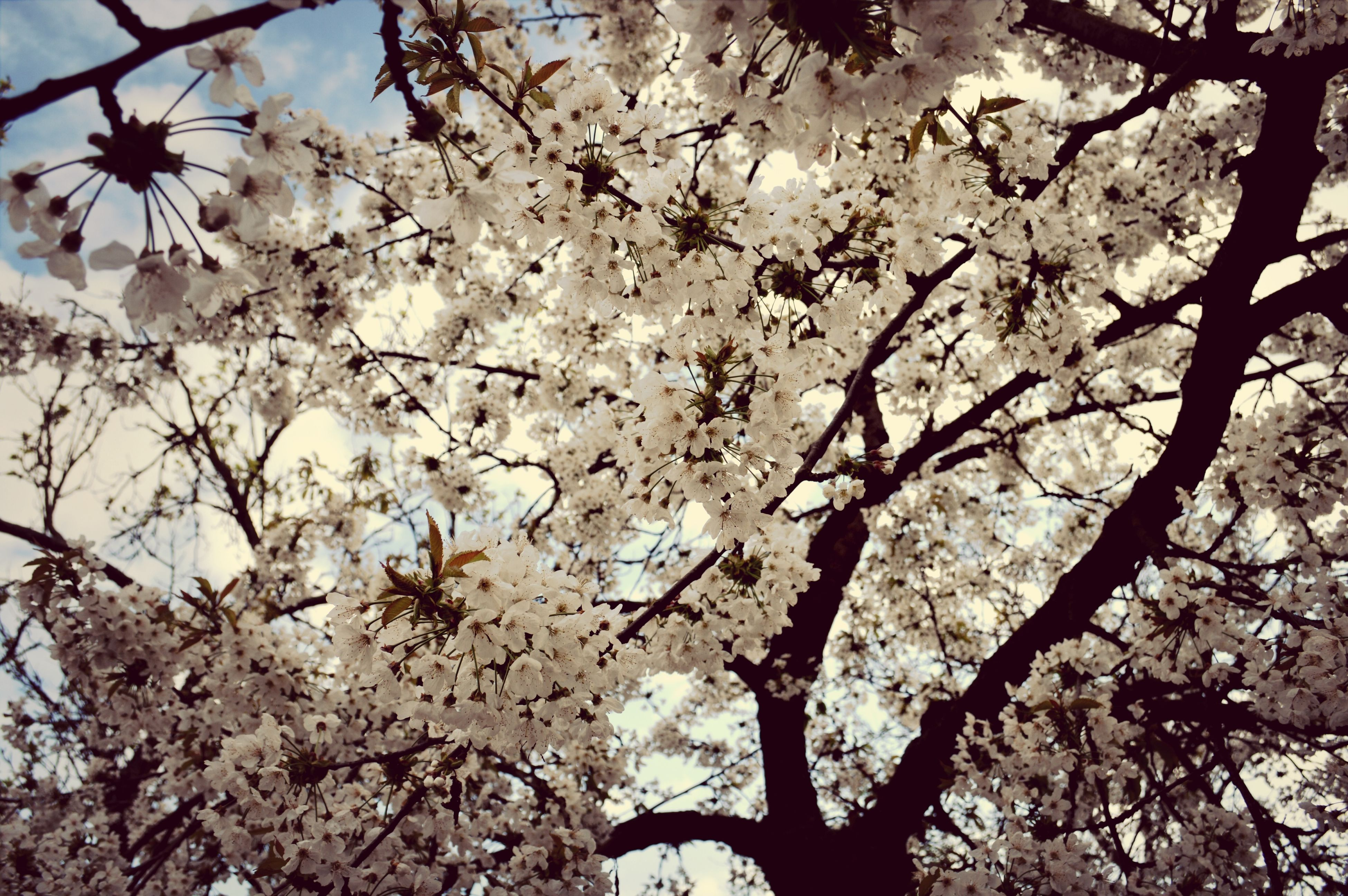 branch, tree, low angle view, flower, growth, beauty in nature, nature, freshness, cherry blossom, blossom, cherry tree, fragility, day, tranquility, outdoors, sky, no people, twig, springtime, in bloom