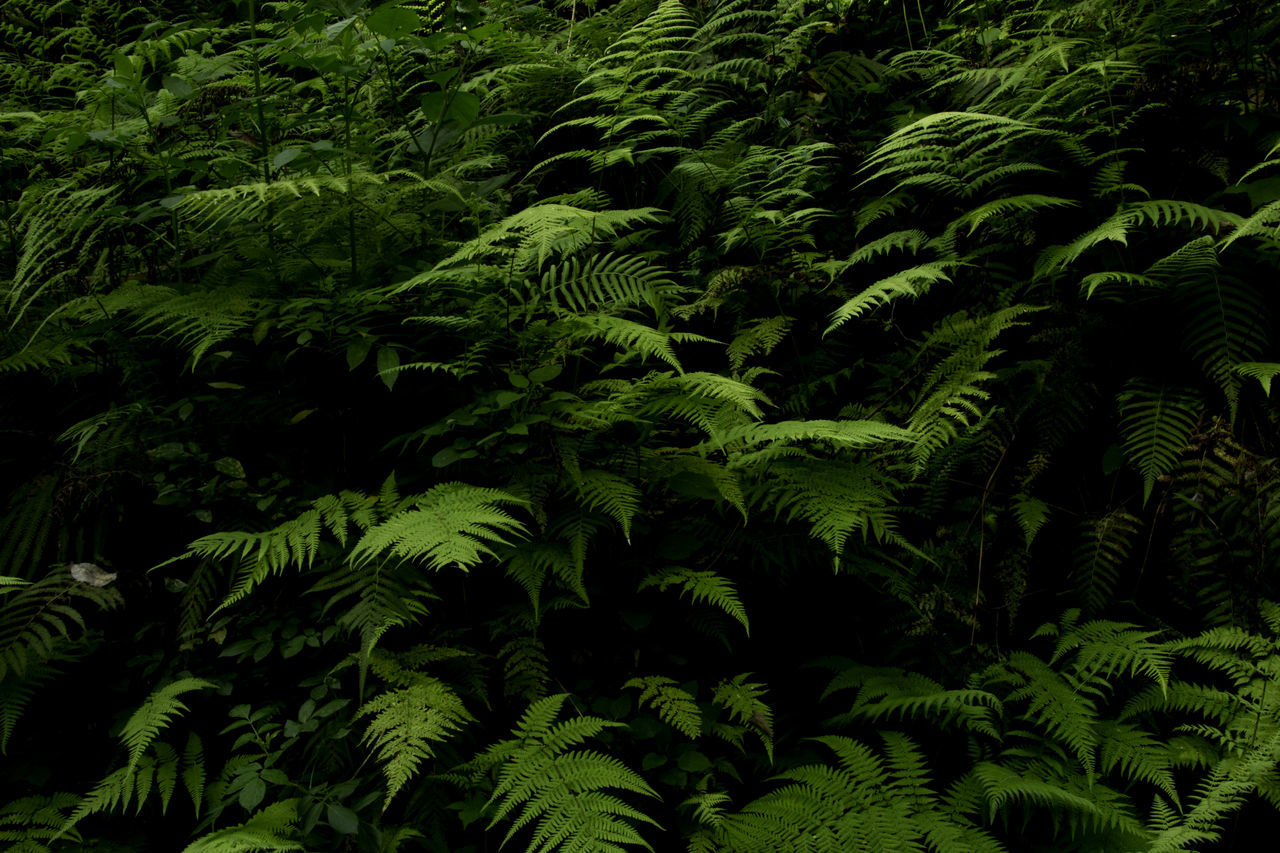Fern on Black Backgrounds Beauty In Nature Black Background Day Freshness Frond Green Color Growth Leaf Nature No People Outdoors Plant