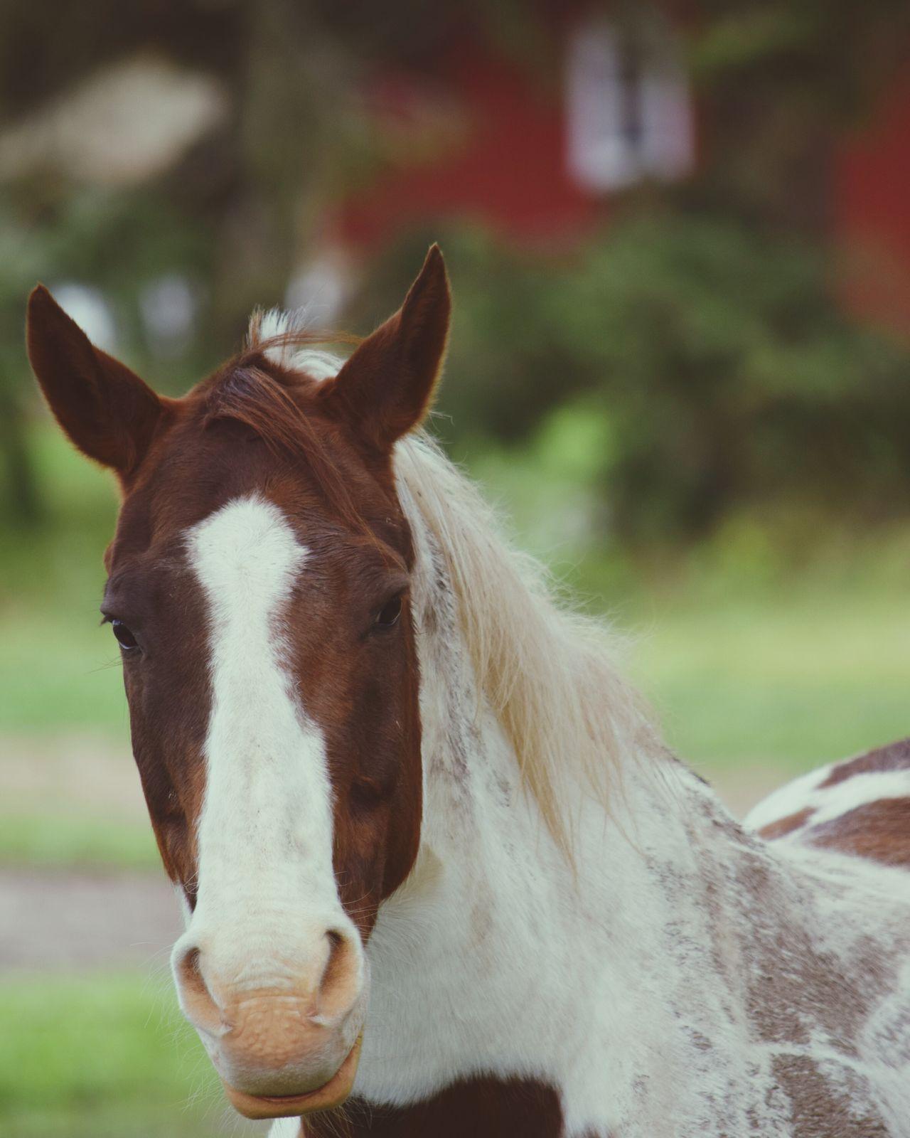 please provide feedback. Taking Photos Nikon D5300 Photographer NIKON D5300 Nikonphotography Nikon Horse Love Horse Life Horse Photography  Horse Fresh On Eyeem  Oregon Woodburn Nature The Week Of Eyeem Beauty In Nature