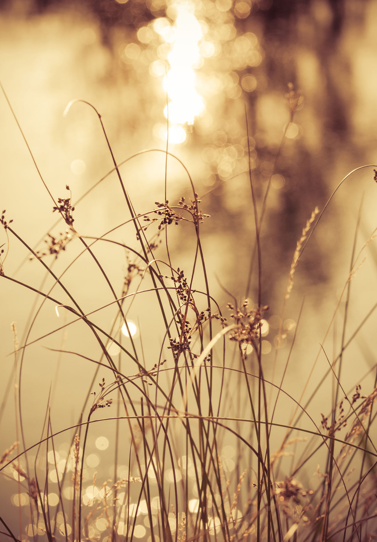 Beautiful Light Beauty In Nature Close-up Day End Of The Day Fields Of Gold Flowers Golden Hour Grass Grasslands Growth Meadow Meadow Flowers Nature No People Outdoors Plant Serenity Soft Sunset Tranquility Vertical Bokeh Warm Light Warm Colors
