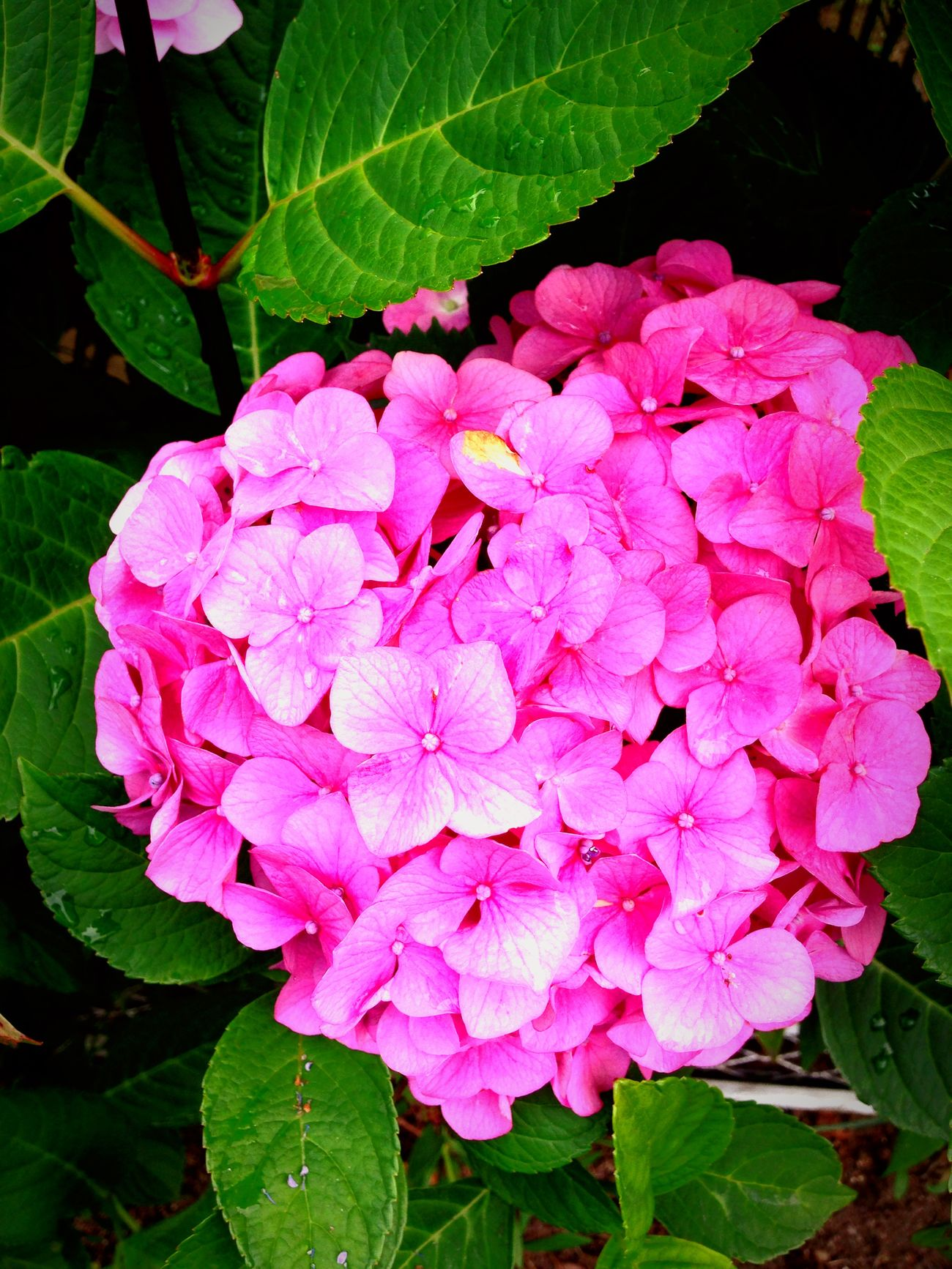 紫陽花 Flower Photo 花 Heart