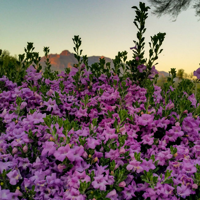 Abundance Beauty In Nature Blooming Blossom Botany Day Flower Freshness Growth In Bloom Nature Outdoors Petal Purple Scenics