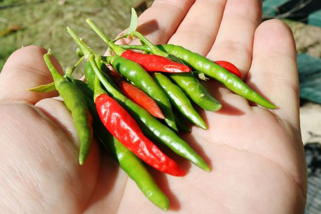 Chilies Chili Pepper Birdseye Chili Homegrown Vegetable Fruit