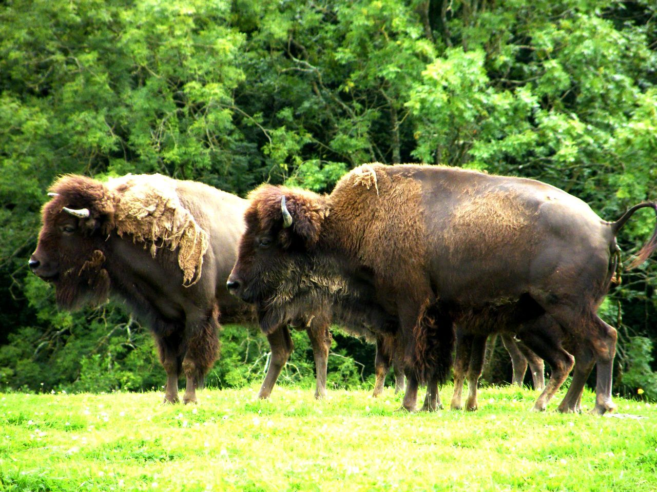 Animal Themes Beauty In Nature Bison Day Domestic Animals European Bison Field Grass Grazing Livestock Mammal Nature No People Outdoors