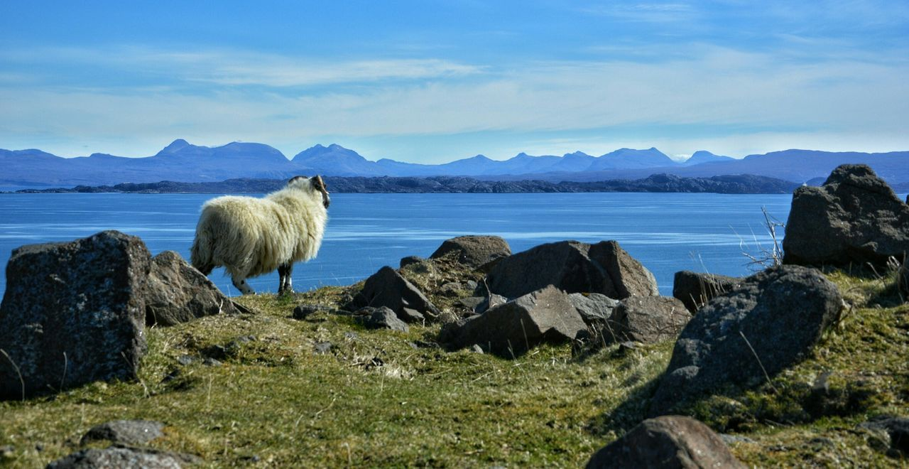 Sheep Standing By Lake