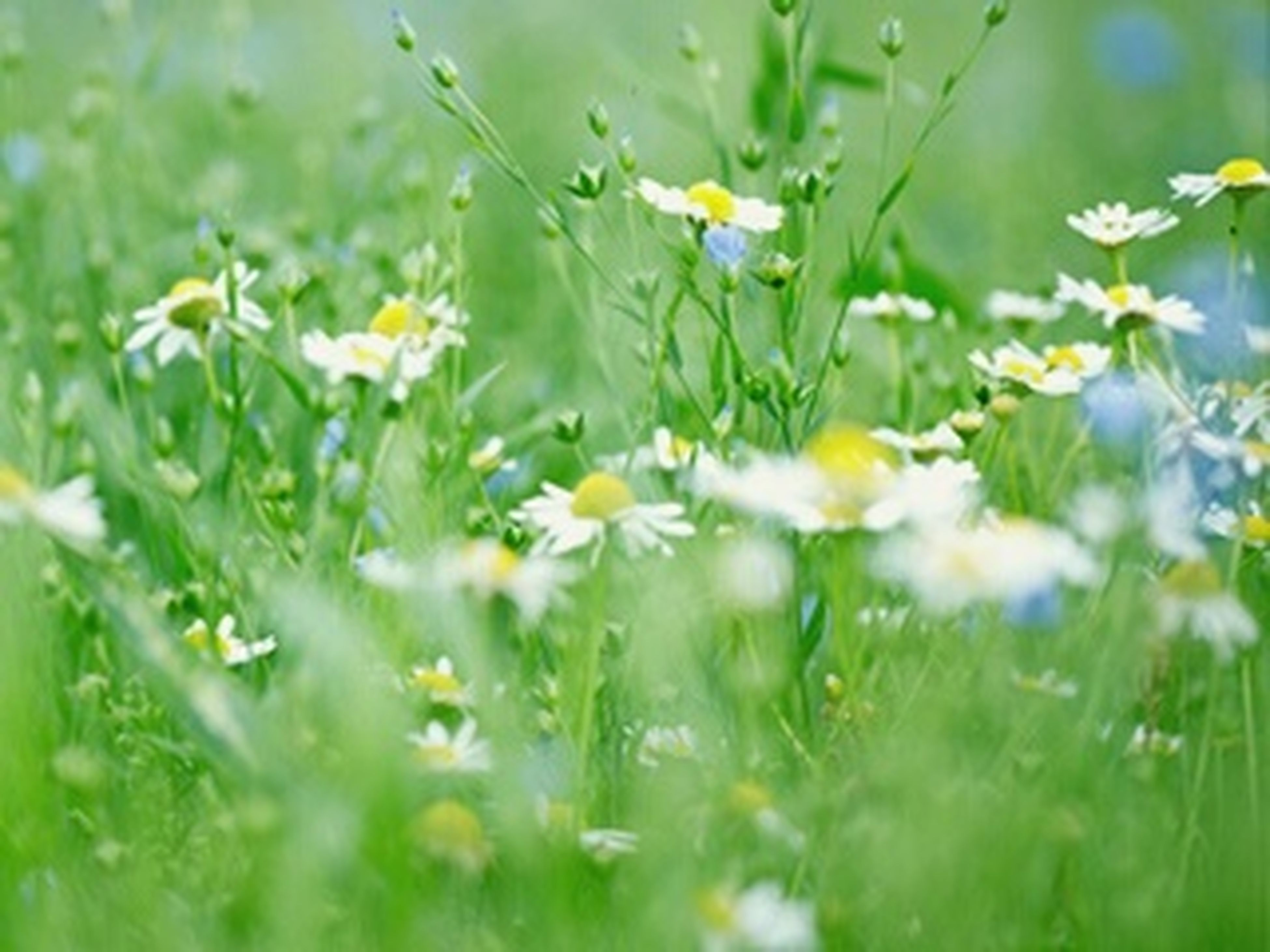 flower, growth, freshness, field, grass, beauty in nature, fragility, nature, green color, plant, selective focus, blooming, focus on foreground, petal, close-up, day, grassy, outdoors, white color, tranquility
