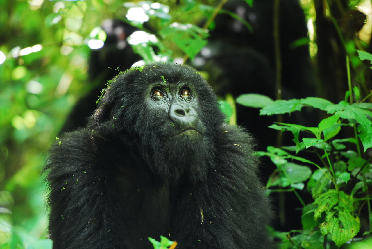 Parc National des Volcans, Rwanda Animal Hair Animal Head  Animal Themes Animals In The Wild Ape Beauty In Nature Close-up Focus On Foreground Gorilla Green Color Looking Lookingup Mammal Nature No People One Animal Outdoors Primate Rwanda Tree Volcano Wildlife Zoology