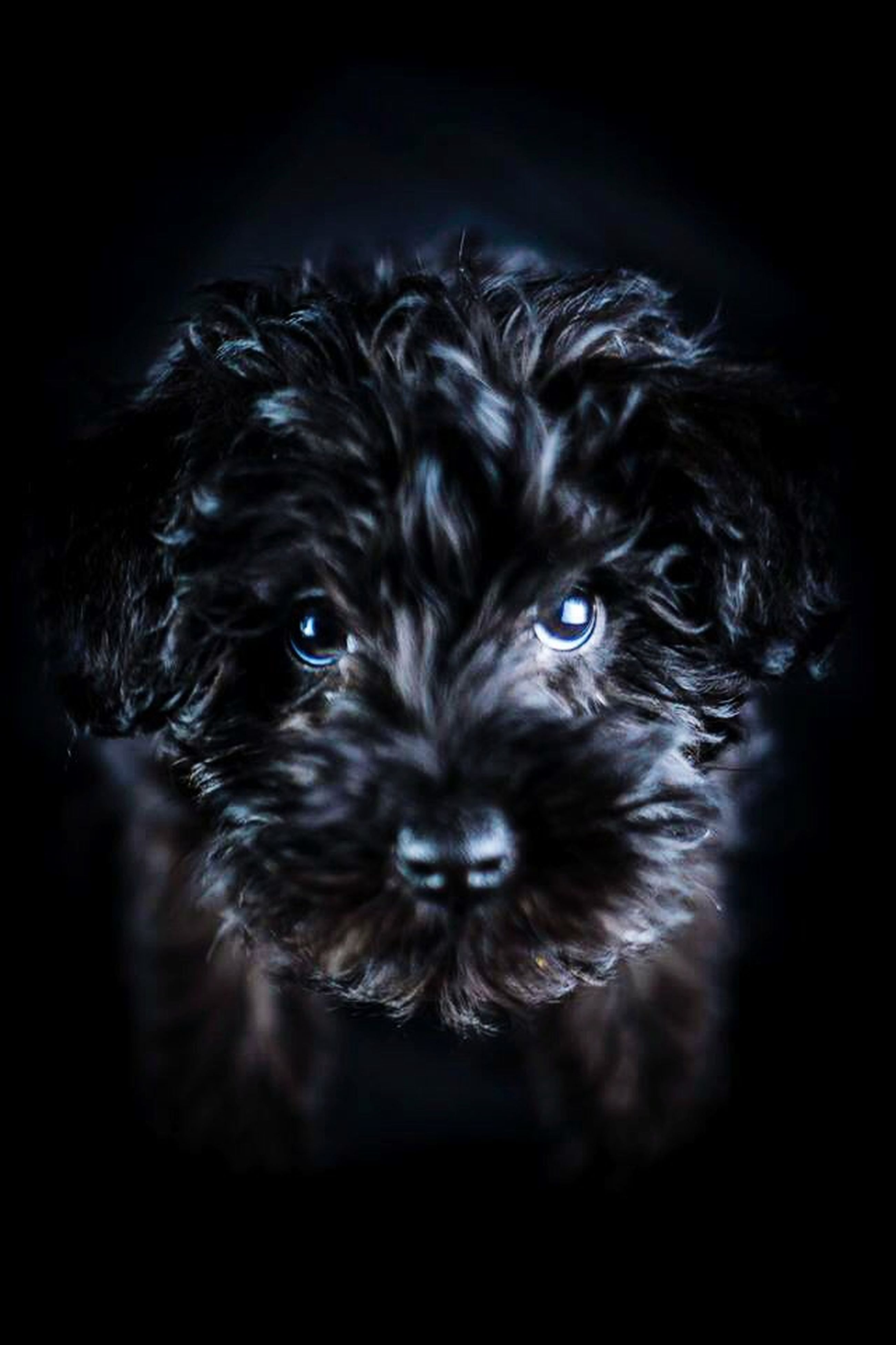 animal themes, one animal, pets, domestic animals, mammal, indoors, portrait, dog, close-up, looking at camera, studio shot, black background, animal head, animal hair, black color, no people, animal body part, focus on foreground, animal eye, front view