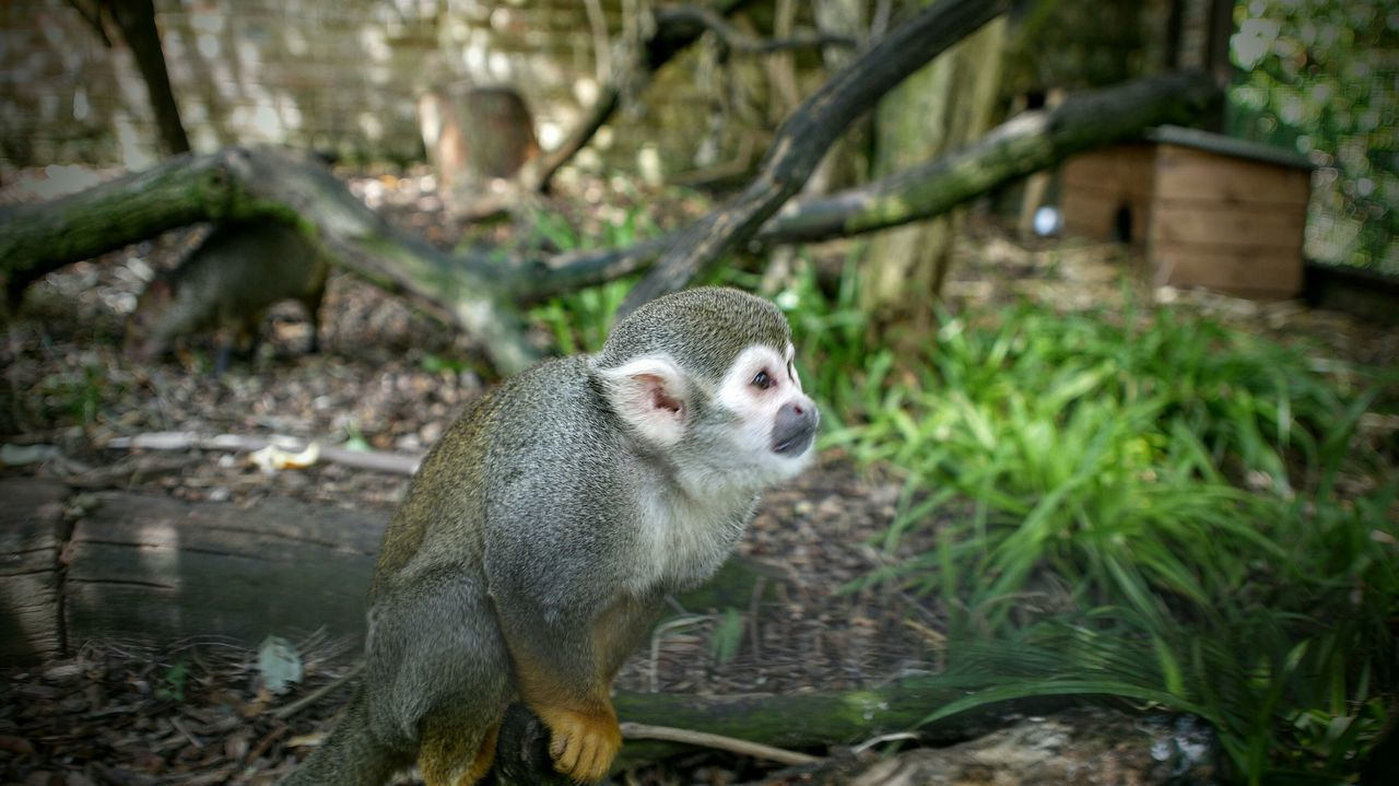 Zoo Animals  Zoo Monkey Cotswold Wildlife Park Wildlife Photography