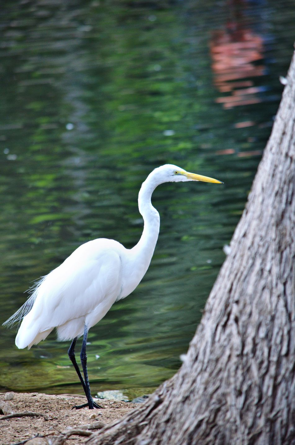 Animal Wildlife Water Bird Nature Outdoors San Antonio, Texas San Antonio Zoo Beauty In Nature Crane Whooping Crane Bird Focus Object Animal