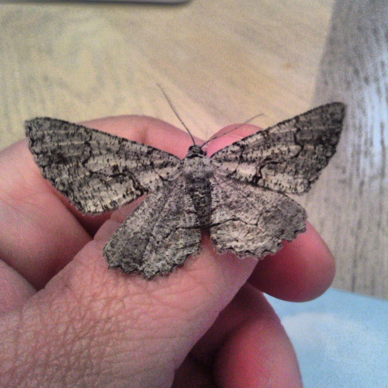 Moth Bugs Sayhellotomylilfriend Insects
