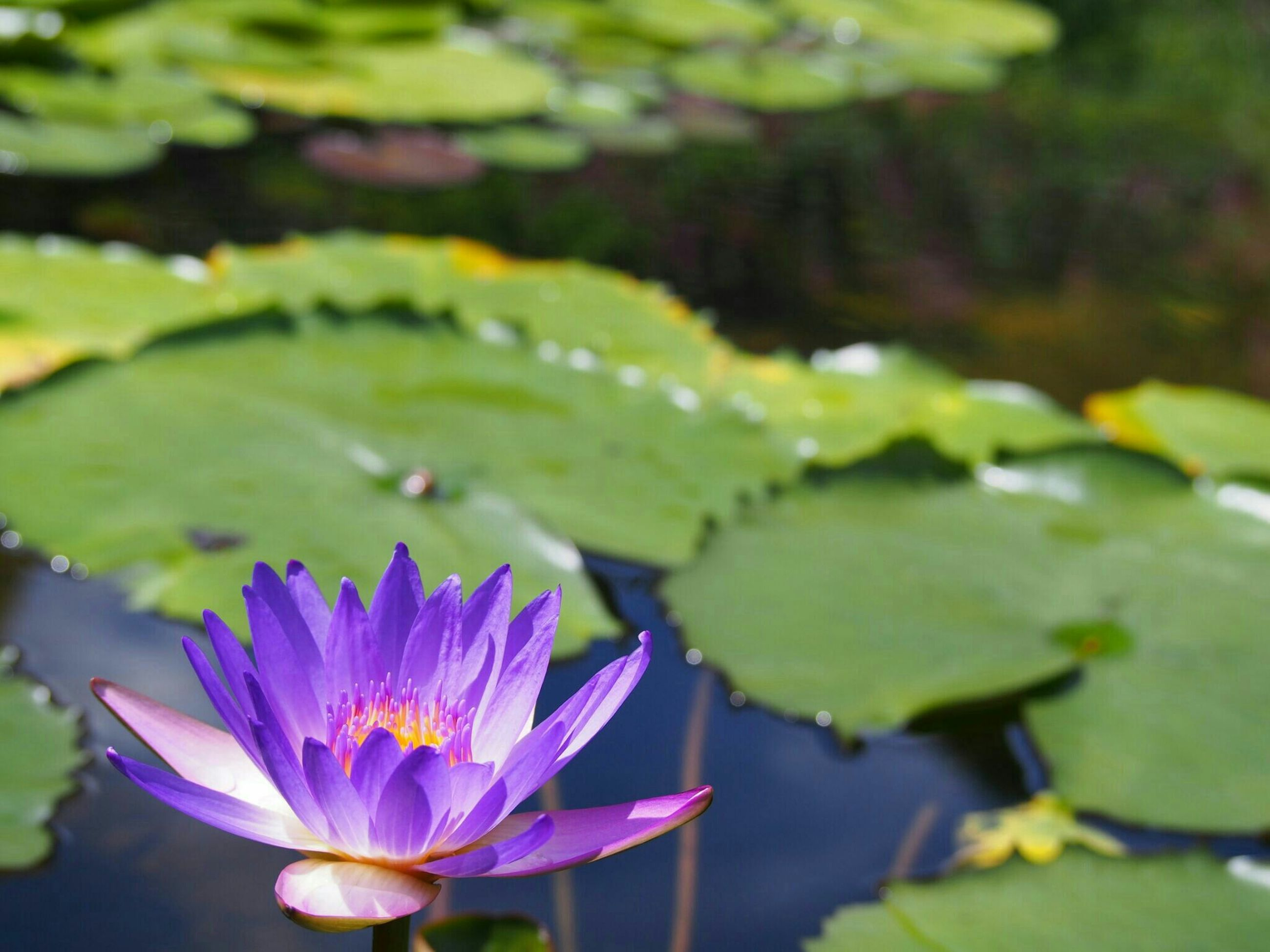 flower, petal, freshness, water lily, fragility, water, growth, pond, leaf, flower head, beauty in nature, plant, purple, lotus water lily, close-up, nature, blooming, floating on water, focus on foreground, lake
