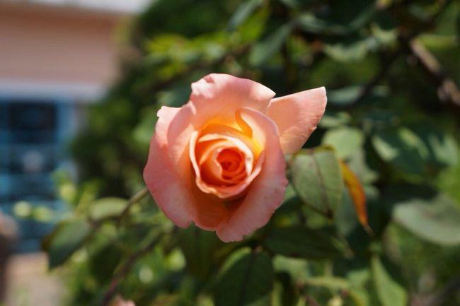 Tu tan linda como las rosas 🌷📸 Flower Beauty In Nature Nature Outdoors Sonya3000 Sony