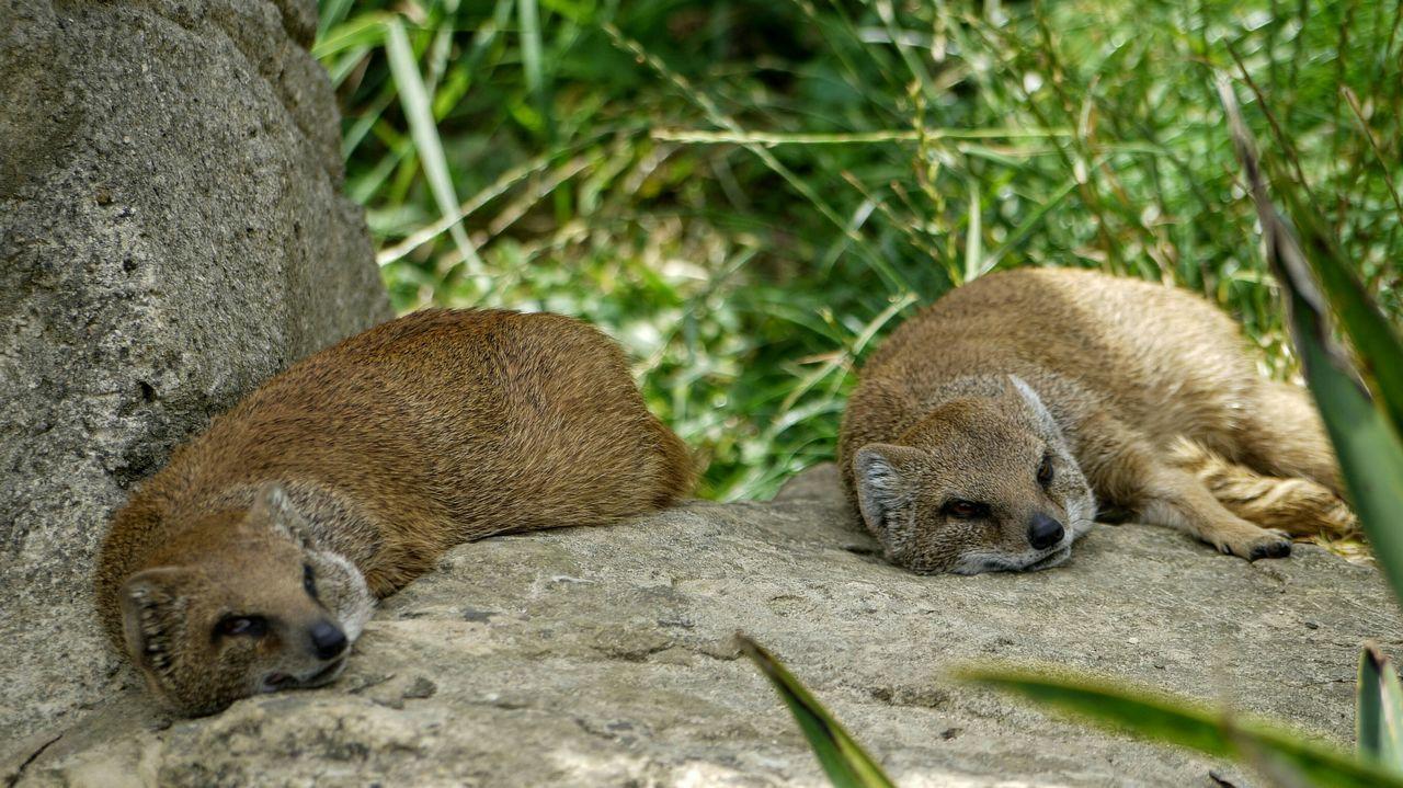 Fox Cotswold Wildlife Park Zoo Zoo Animals
