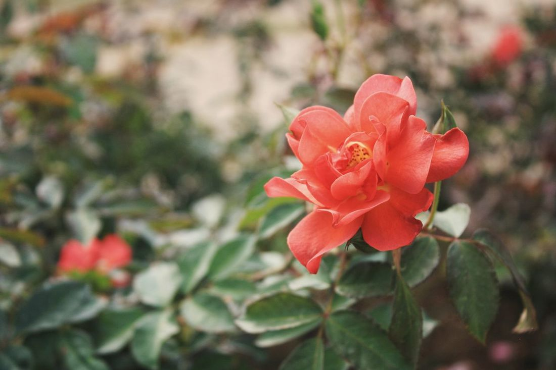 Rose flower. Nature trip. Flower Plant Petal Nature Flower Head Beauty In Nature No People Rose - Flower Outdoors Fragility Springtime Growth Red Poppy Close-up Freshness Day Leaf Travel EyeEmNewHere Travel Destinations Thailand Branch