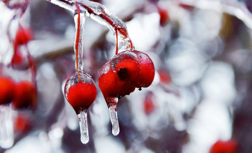 Winter Berrys Cold Days Red Popular Photos