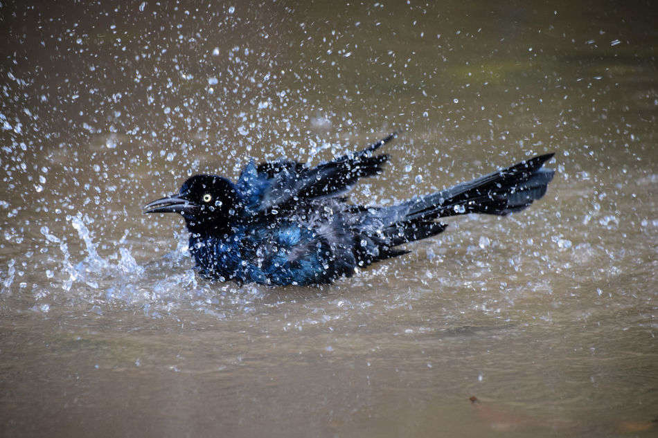 Adventure Animal Themes Beauty In Nature Galaxy Great-tailed Grackle Motion Nature Night No People Outdoors Scuba Diving Sea Splashing Swimming Water