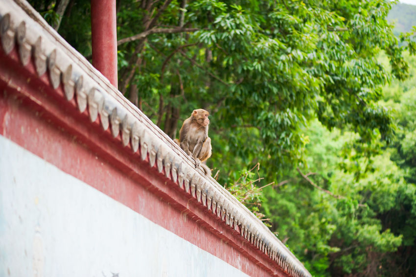 Chinese door knocker on a red opened gate with outdoor blur view in the background, DuJianYan, China Wall Animal Themes Animal Wildlife Animals In The Wild Day Mammal Monkey Nature No People One Animal Outdoors Rhesus Macaque Tree