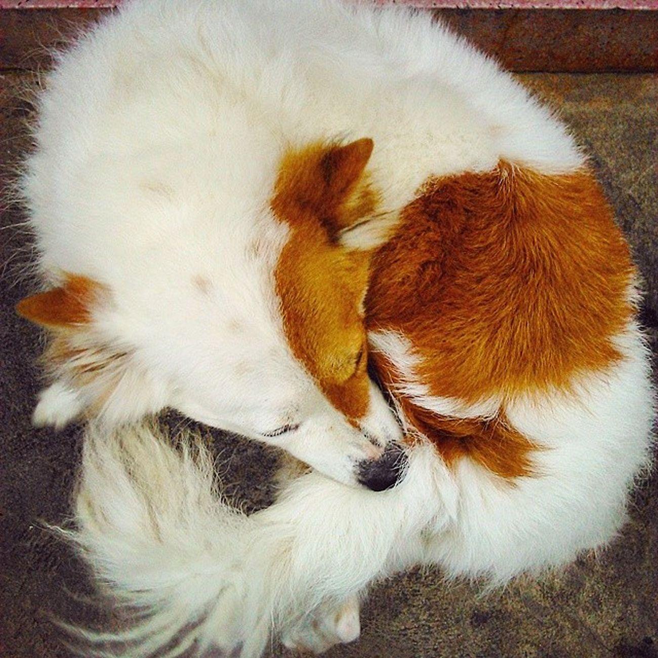 Fox or dog? :) Firefox in real life Cute♡ Cute Pets Cute Dog  Cute Kin Dog Lovely Fox Firefox