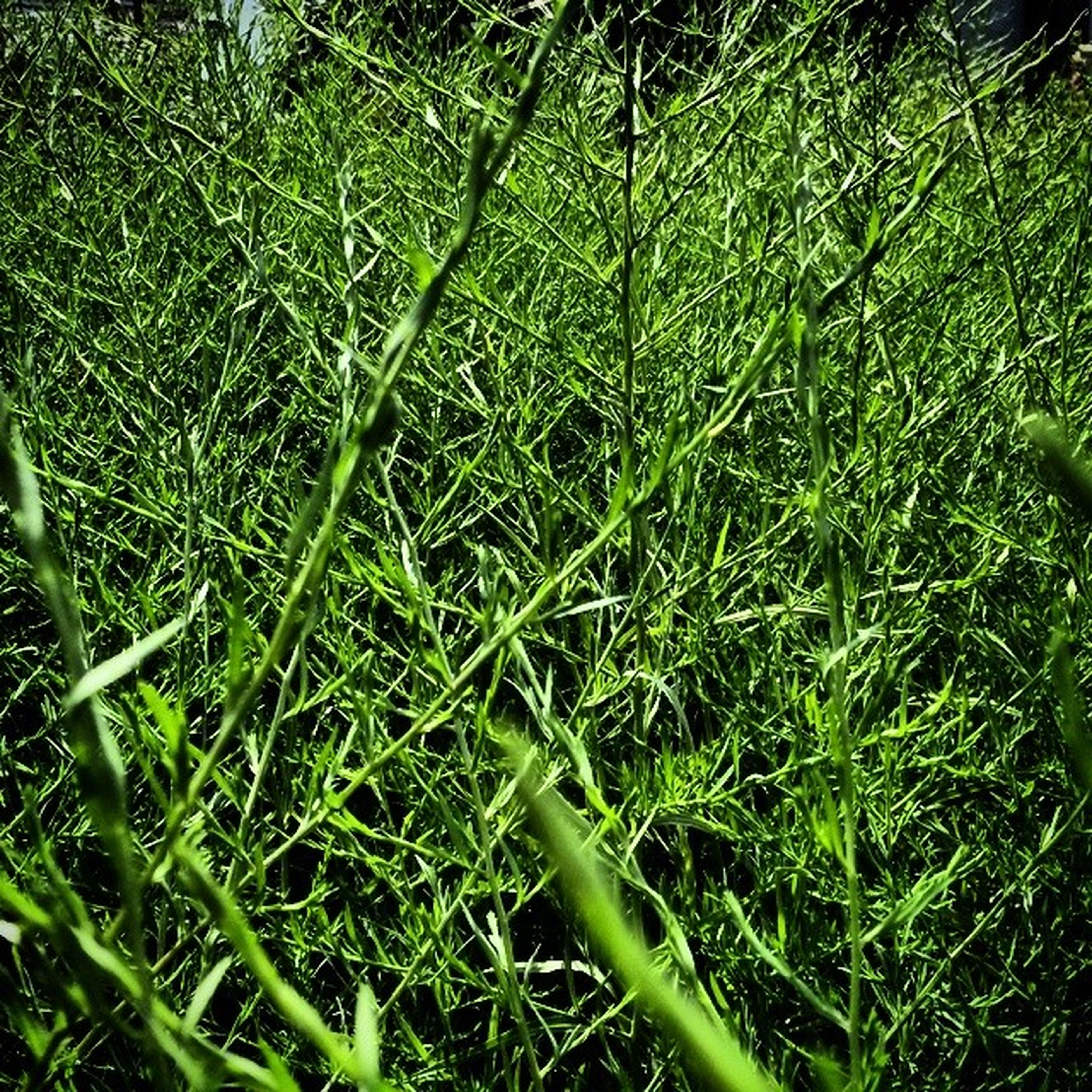 grass, green color, growth, nature, field, plant, beauty in nature, tranquility, blade of grass, close-up, grassy, full frame, green, backgrounds, lush foliage, freshness, outdoors, no people, day, growing
