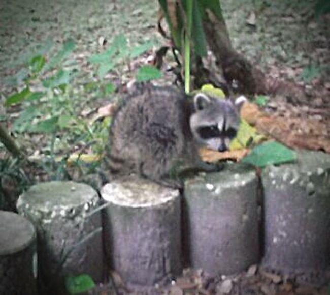 Baby Raccoons RACCOON(: Wildlife & Nature Urban Wildlife Florida Wildlife