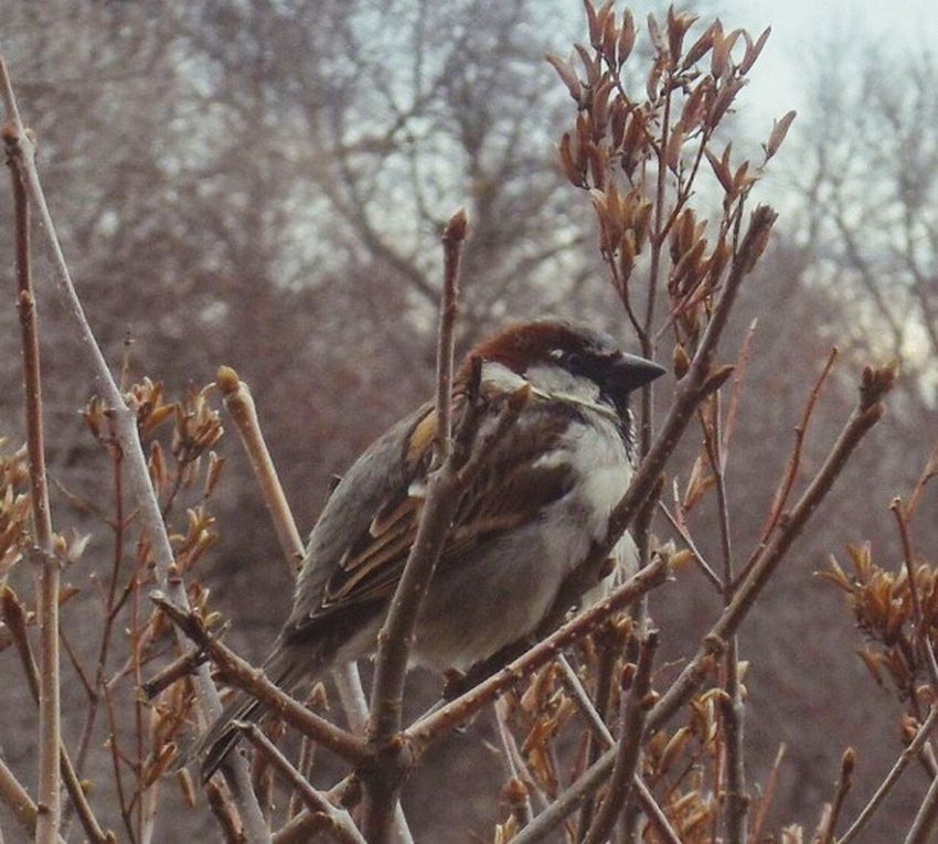 Perching Bird Bird Watching Birding On Branch Close Up Feathered Friends Nature On Your Doorstep House Sparrow Natures Diversities Nature's Diversities