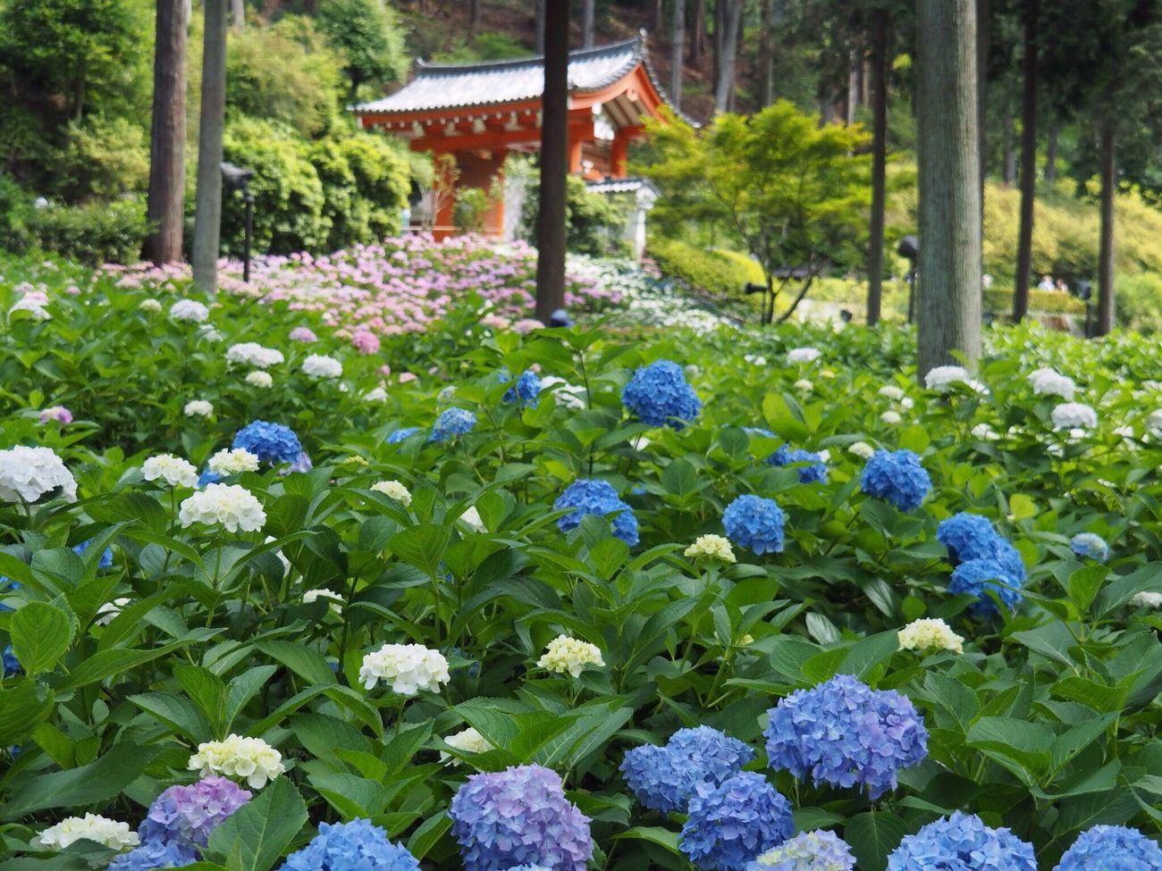 Kyoto Japan Uji Mimurotoji Temple Hydrangea Flower Plant Beauty In Nature Growth Nature Day Outdoors Pink Blue White Purple Olympus PEN-F 京都 日本 宇治 三室戸寺 紫陽花 10,000株の紫陽花