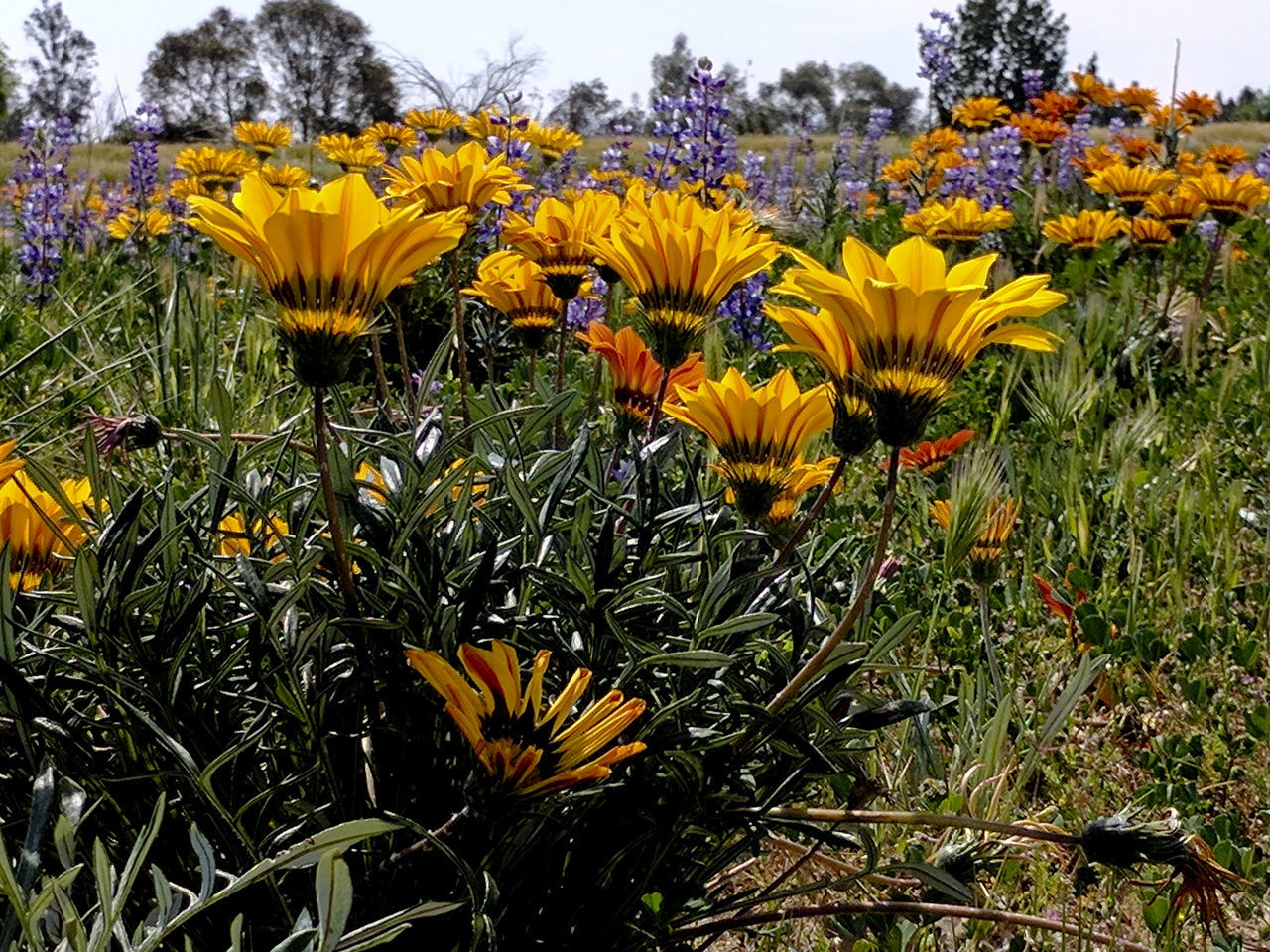 Looking up and across a field of yellow, orange and purple wildflowers Beauty In Nature Black-eyed Susan Blooming Close-up Day Field Of Flowers Flower Flower Head Fragility Freshness Growth Nature No People Orange Flowers Outdoors Petal Plant Purple Flowers Spring Sunflower Wildflower Wildflowers Wildflowers In Bloom Yellow Yellow Flowers