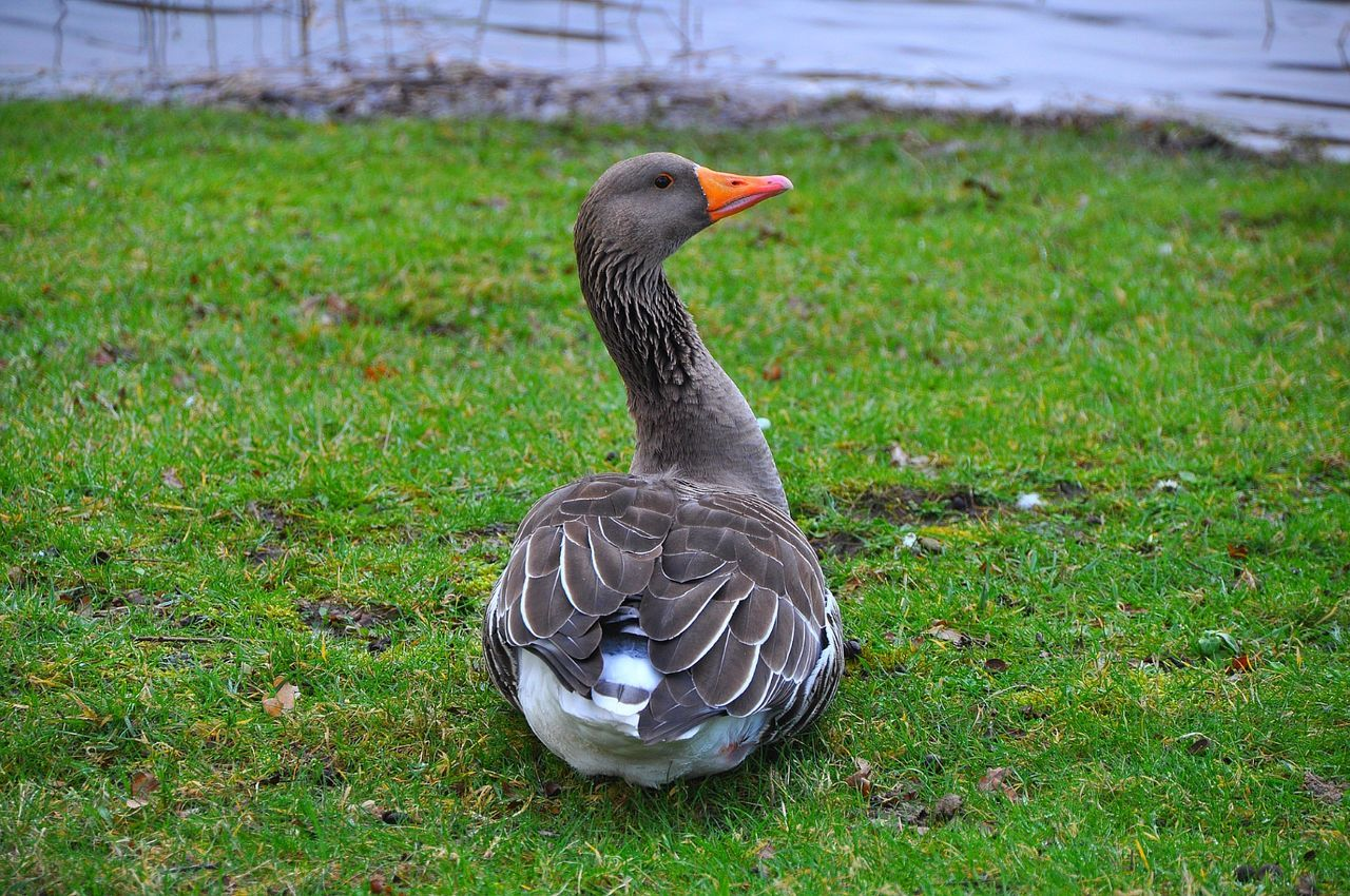 Goose Grey Goose Orange Beak Birds Bird Photography Goose Resting Grey Bird Water Birds Water Bird Taking Photos Check This Out Hello World Netherlands Nature On Your Doorstep EyeEm Best Shots EyeEm Nature Lover The Week On Eyem Nature Photography Nature Details Of Nature Detailed Photo Animal Photography Green Grass With Grey Goose